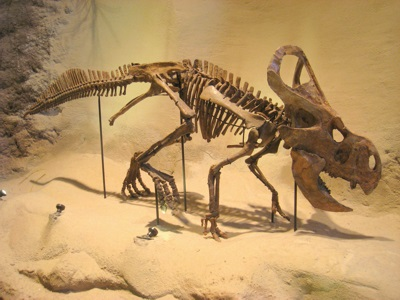 Protoceratops andrewsi Exhibit in the Carnegie Museum of Natural History